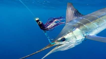 stripped_marlin_lures